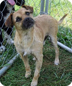 Border Terrier/Terrier (Unknown Type, Medium) Mix Dog for adoption in Sidney, Ohio - Gus Gus