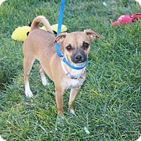 Adopt A Pet :: Pensi - California City, CA