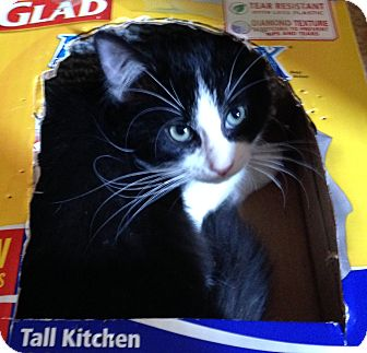 Domestic Shorthair Cat for adoption in Nashville, Tennessee - Oreo