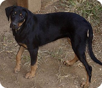 Golden Retriever/Black and Tan Coonhound Mix Puppy for adoption in Hagerstown, Maryland - Macie