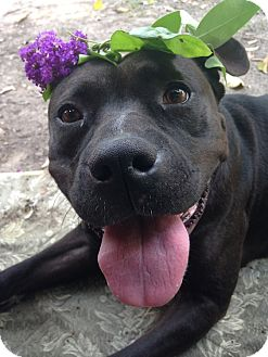 Pit Bull Terrier Mix Dog for adoption in Houston, Texas - Blanche
