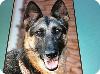 German Shepherd Dog Dog for adoption in Los Angeles, California - REYNA VON REUTH