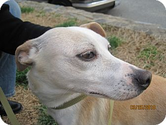 Whippet Mix Dog for adoption in Rockville, Maryland - Valentine