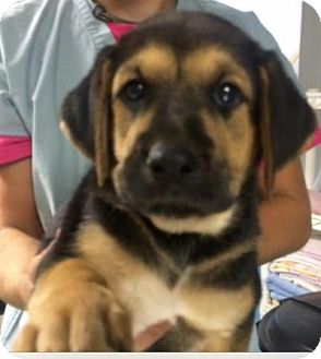Shepherd (Unknown Type)/Foxhound Mix Puppy for adoption in Barnegat, New Jersey - Simone