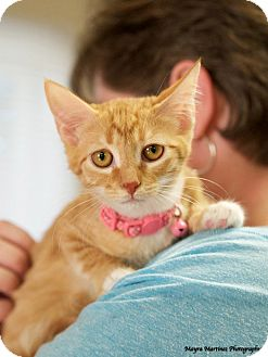 Domestic Shorthair Kitten for adoption in Chattanooga, Tennessee - Shiloh