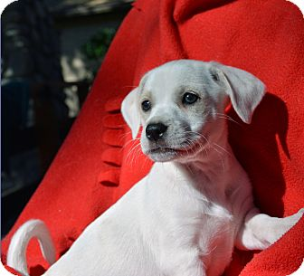 Jack Russell Terrier/Chihuahua Mix Puppy for adoption in Mountain Center, California - Maxwell
