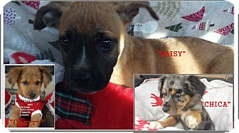 Boxer/Labrador Retriever Mix Puppy for adoption in El Cajon, California - Daisy