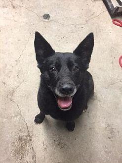 Shepherd (Unknown Type)/Labrador Retriever Mix Dog for adoption in Pt. Richmond, California - IZZY