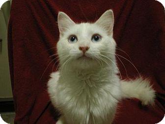 Turkish Angora Cat for adoption in Orlando, Florida - Angel