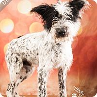 Adopt A Pet :: Blue *Fully Sponsored* - Ottawa, KS