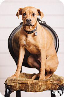Labrador Retriever/Boxer Mix Dog for adoption in Portland, Oregon - Wanda