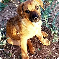Adopt A Pet :: Roxie (FORT COLLINS) - Fort Collins, CO