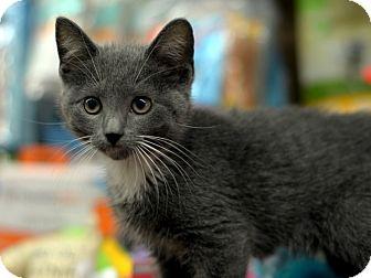 American Shorthair Kitten for adoption in Brooklyn, New York - Meowtaindew