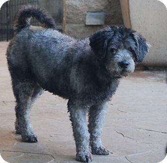 Poodle (Standard) Mix Dog for adoption in Norwalk, Connecticut - Mr. Bojangles