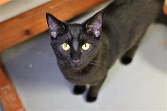 Domestic Shorthair/Domestic Shorthair Mix Cat for adoption in Richmond, Indiana - Man-cy