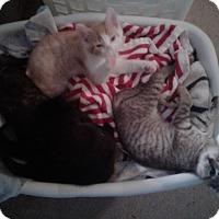 Adopt A Pet :: Gryff - Smithfield, NC
