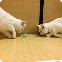 American Shorthair Cat for adoption in Hazlet, New Jersey - Luna & Primrose