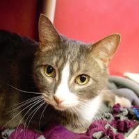 Domestic Shorthair/Domestic Shorthair Mix Cat for adoption in Green Bay, Wisconsin - Canby