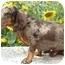Photo 2 - Dachshund Mix Puppy for adoption in Provo, Utah - COOPER