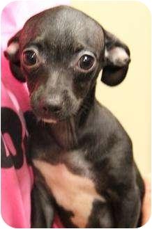 Chihuahua/Dachshund Mix Puppy for adoption in San Pedro, California - Teentzie