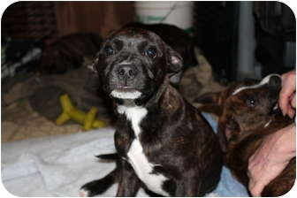 Boston Terrier/Mountain Cur Mix Puppy for adoption in Bel Air, Maryland - Gracie