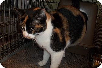 Domestic Shorthair Cat for adoption in Acme, Pennsylvania - Patches
