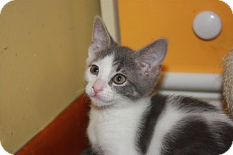 Domestic Shorthair Kitten for adoption in Little Falls, New Jersey - Parker (LE)
