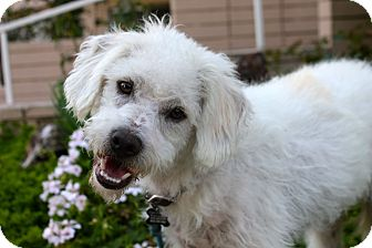 Poodle (Standard)/Terrier (Unknown Type, Medium) Mix Dog for adoption in Los Angeles, California - Otto