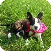 American Staffordshire Terrier Mix Dog for adoption in Foster, Rhode Island - Smiley Miley