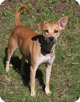 Feist/Labrador Retriever Mix Dog for adoption in Minneapolis, Minnesota - Terra