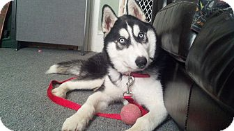 Husky Mix Dog for adoption in Huntsville, Alabama - Kaito