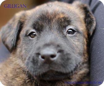 Labrador Retriever Mix Puppy for adoption in Alpharetta, Georgia - Gilligan