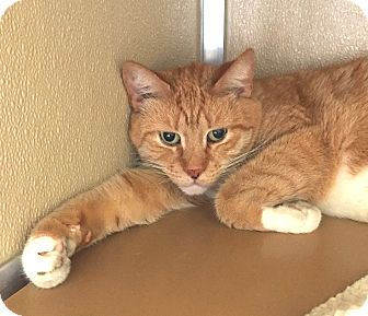 Domestic Shorthair Cat for adoption in Wilmington, Delaware - Momma