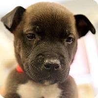 Adopt A Pet :: Boone - Atlanta, GA