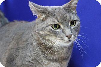 Domestic Shorthair Cat for adoption in Midland, Michigan - Thomas - NO FEE
