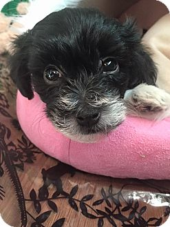 Poodle (Miniature)/Lhasa Apso Mix Puppy for adoption in Troy, Michigan - Amelie