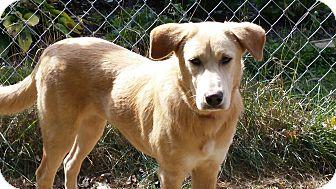 Labrador Retriever Mix Puppy for adoption in Homer, New York - Suzie