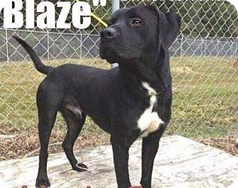 Labrador Retriever Mix Dog for adoption in Charlotte, North Carolina - BLAZE
