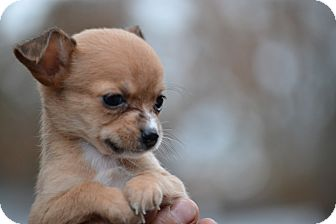 Chihuahua Mix Puppy for adoption in Pikeville, Maryland - Tiny