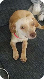 Beagle/Chihuahua Mix Dog for adoption in Newport Beach, California - Mia
