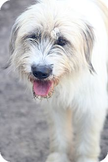 Old English Sheepdog Mix Dog for adoption in Norwalk, Connecticut - Bettina - pending