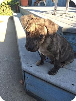 Retriever (Unknown Type) Mix Puppy for adoption in Lima, Pennsylvania - Tank