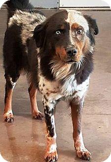 Australian Shepherd Dog for adoption in Oswego, Illinois - I'M ADOPTED Meesha