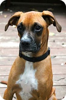 Boxer Mix Puppy for adoption in Mt. Prospect, Illinois - Tyson
