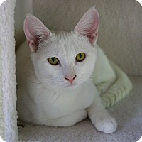 Domestic Shorthair Cat for adoption in Sherman Oaks, California - Frosty