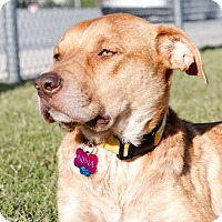Labrador Retriever/American Pit Bull Terrier Mix Dog for adoption in oklahoma city, Oklahoma - Nina
