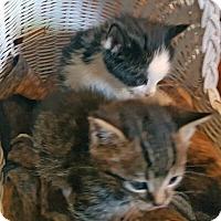 Domestic Shorthair Kitten for adoption in Mississauga, Ontario, Ontario - Barbican