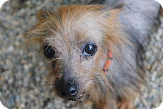 Yorkie, Yorkshire Terrier Dog for adoption in Olivet, Michigan - Ernie