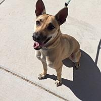 Adopt A Pet :: Kapli - Las Vegas, NV
