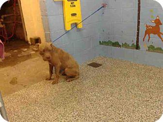 Pit Bull Terrier Mix Dog for adoption in San Bernardino, California - A505842